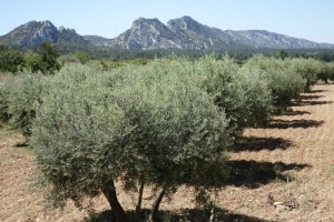 Les Alpilles olive trees