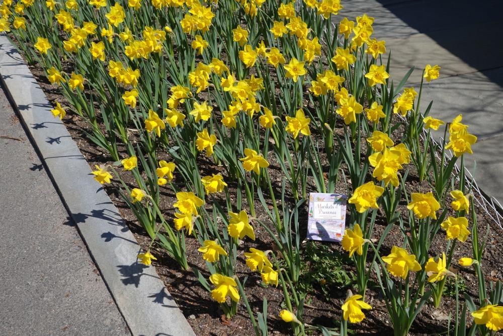 book among daffodils