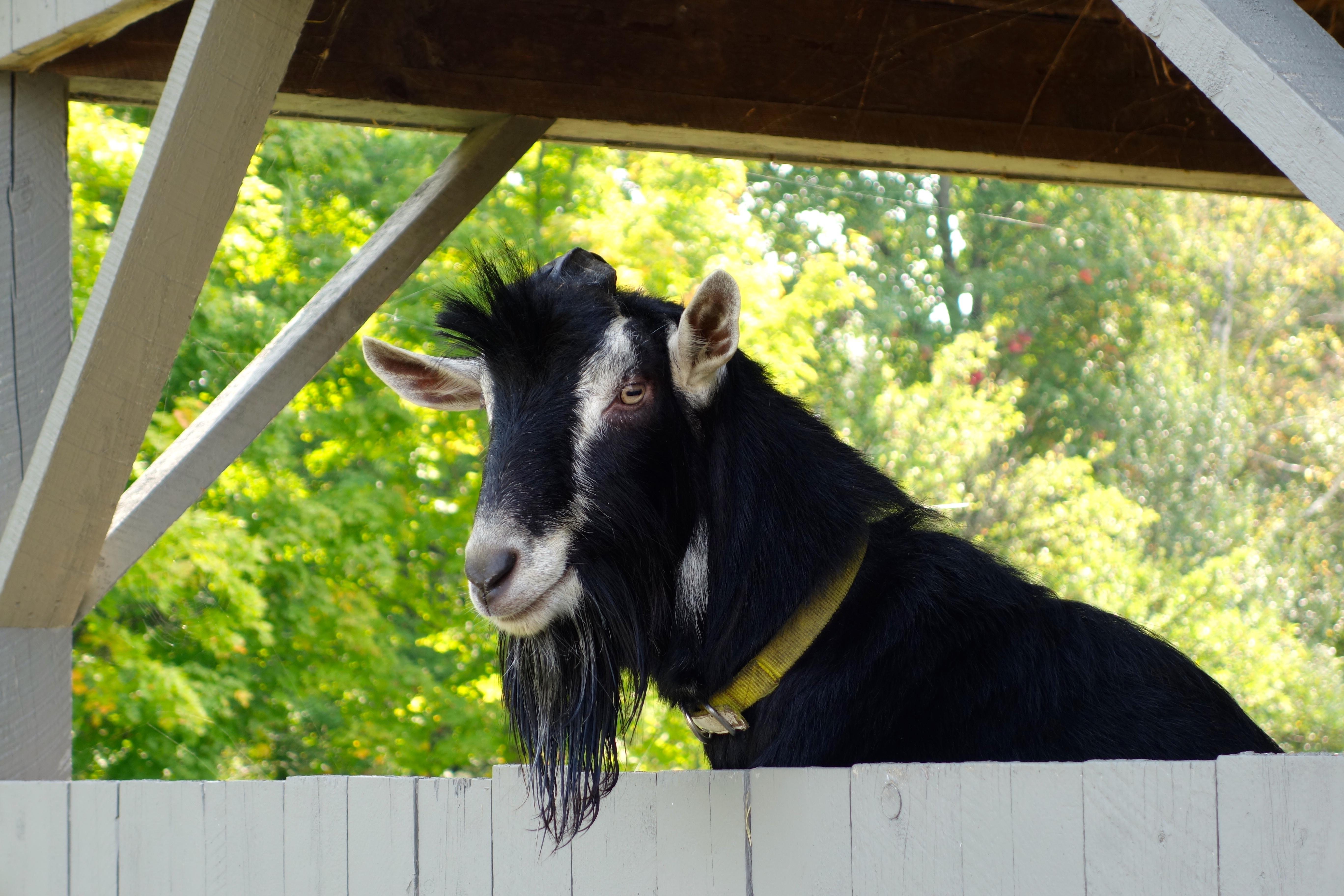 goat Vermont